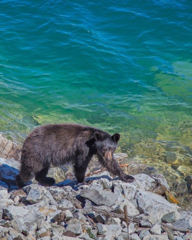 A black bear next to Lake McDonald in Glacier National Park