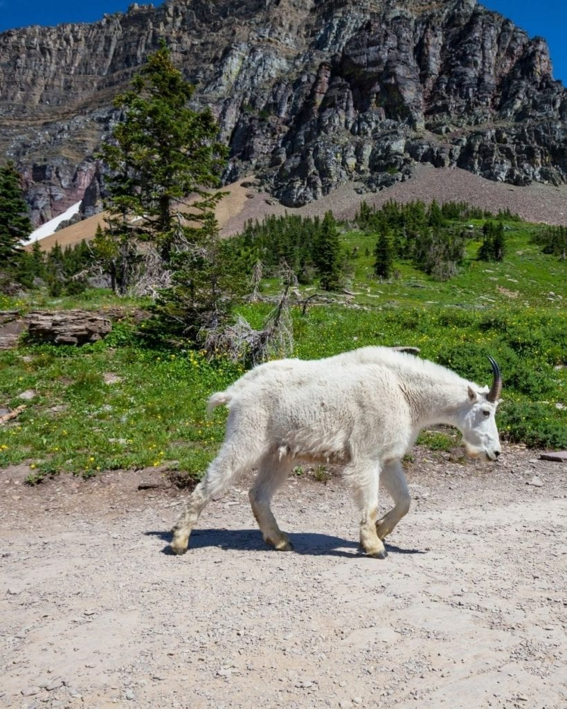 A mountain goat walks along a trail in Glacier National Park.