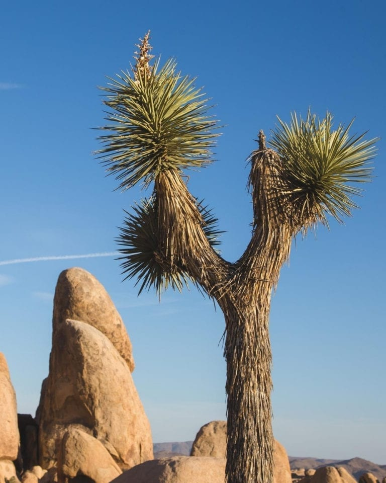 A Joshua Tree in the national park