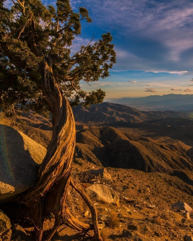 A twisted tree at sunset at Keys View