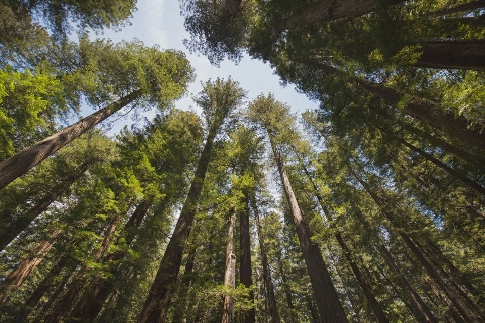 Looking up at tall redwood trees and a blue sky in Humboldt Redwoods State Park in California