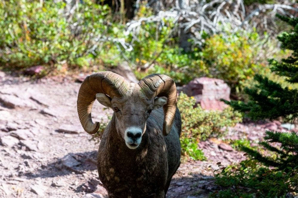 A bighorn sheep stands on the Highline Trail in Glacier National Park.