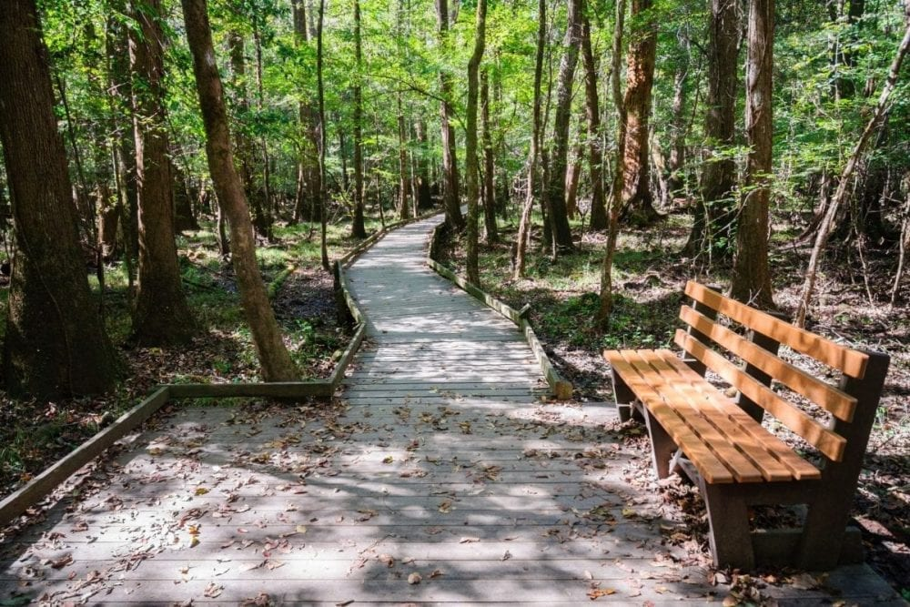 A bench sits on a boardwalked path through tall tree in Congaree National Park in South Carolina