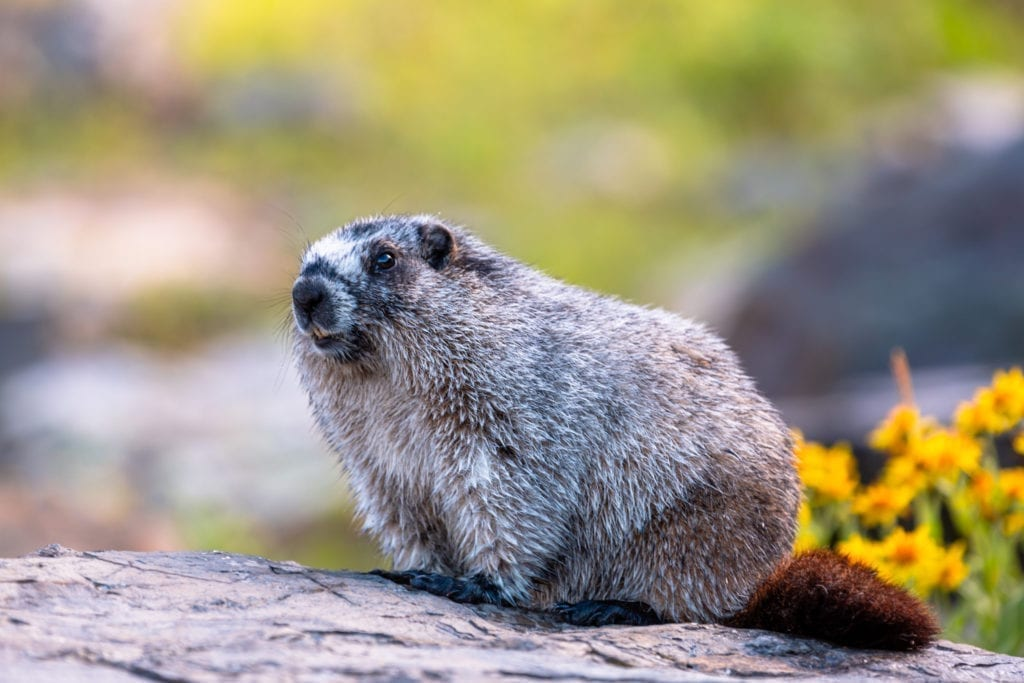 A marmot sits on a rock in Glacier National Park.