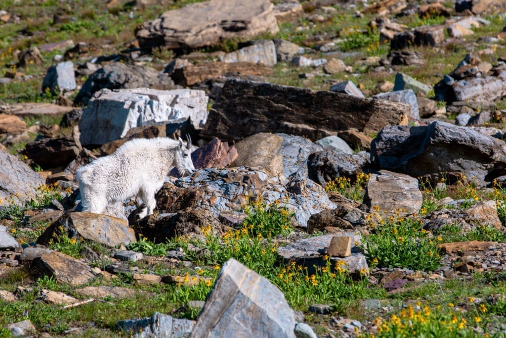 A mountain goat crosses the field along the Highline Trail.