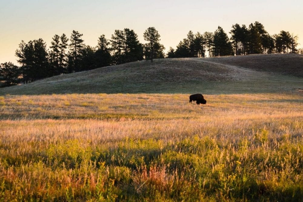 A bison roams free across a field at sunset in Wind Cave National Park in South Dakota
