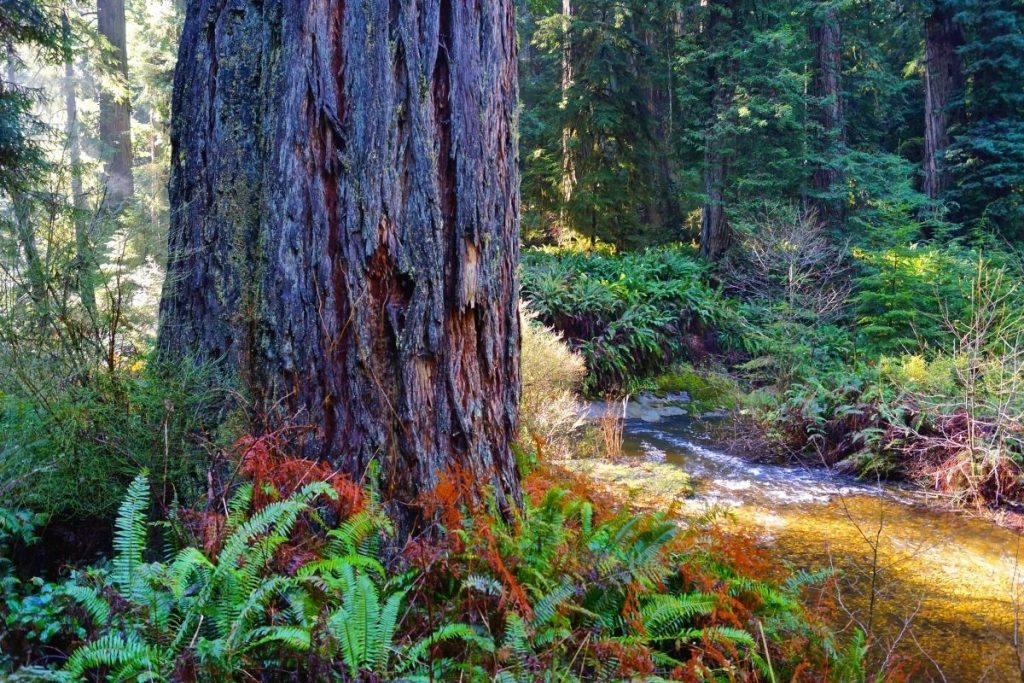 Big Tree Wayside Hike in Redwood National Park