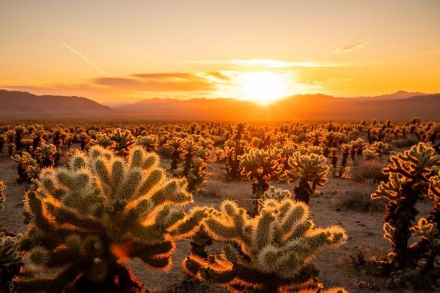 Sun glows behind a field of Cholla Cactus in Joshua Tree