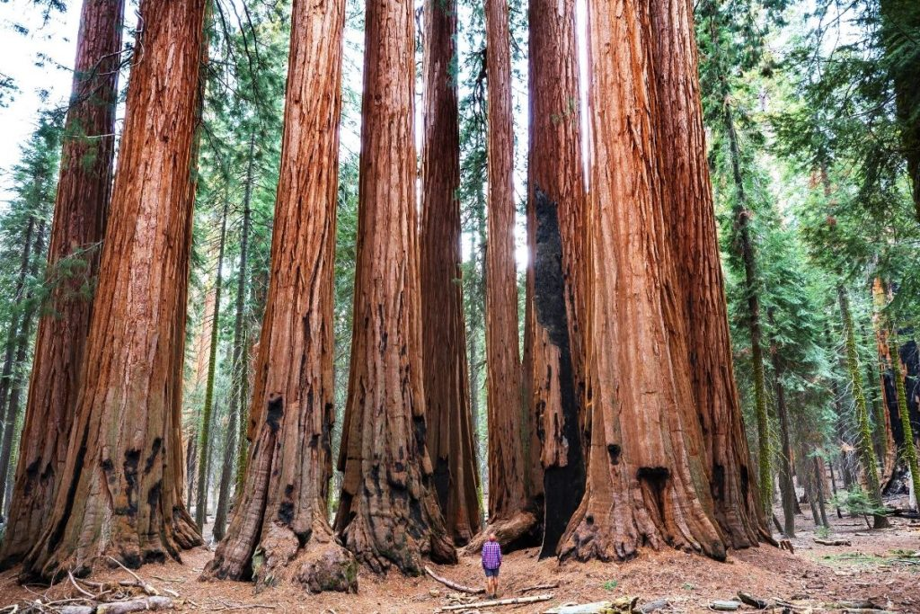 Hiker looking up at the giant sequoias on a hike in Sequoia National Park