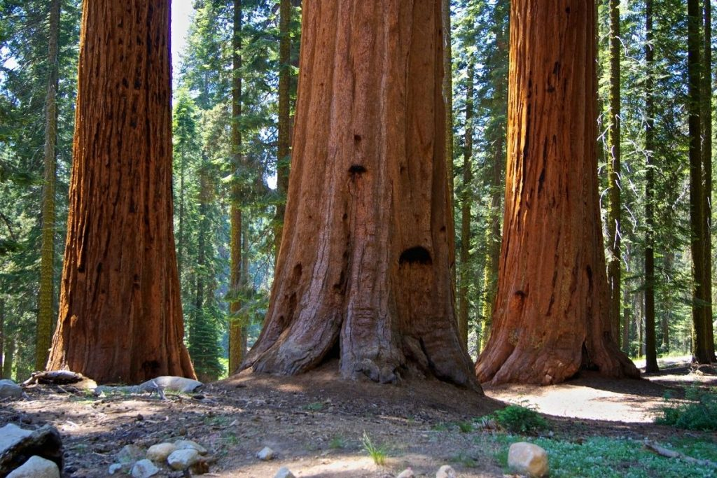 Sequoia groves in Sequoia National Park