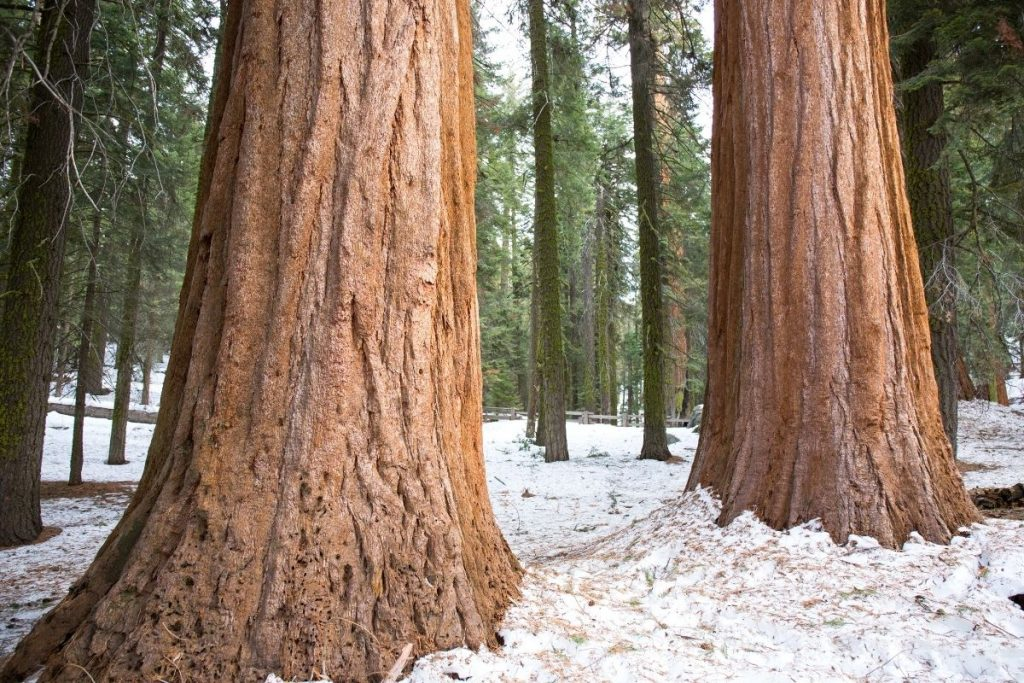 Snow on the ground in Spring in Sequoia National Park